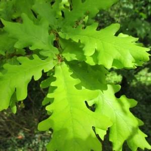 Photographie n°1275353 du taxon Quercus robur L. [1753]