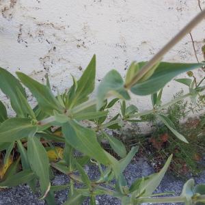 Photographie n°1275366 du taxon Centranthus ruber (L.) DC. [1805]
