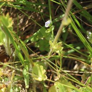 Photographie n°1275397 du taxon Saxifraga granulata L.