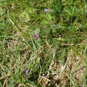 Photographie n°1275844 du taxon Vicia segetalis Thuill. [1799]