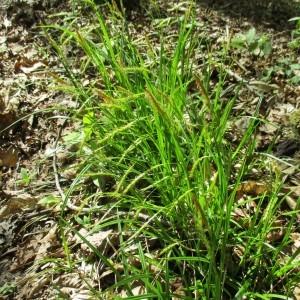 Photographie n°1277172 du taxon Carex sylvatica Huds. [1762]