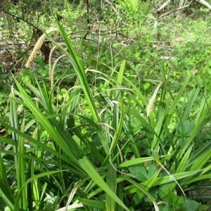 Photographie n°1277212 du taxon Carex pendula Huds.