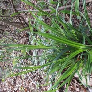Photographie n°1277213 du taxon Carex pendula Huds.