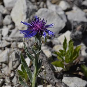 Cyanus semidecurrens (Jord.) Holub (Centaurée)