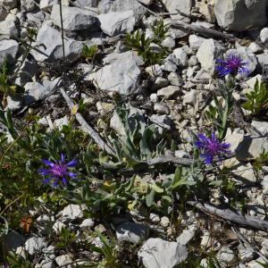 Photographie n°1277477 du taxon Cyanus triumfettii subsp. semidecurrens (Jord.) auct.