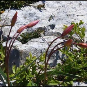 - Tulipa sylvestris subsp. australis (Link) Pamp.