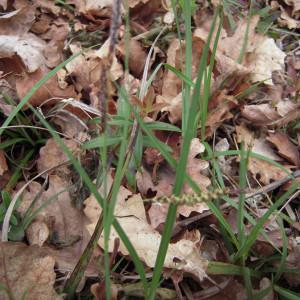 Photographie n°1278322 du taxon Carex flacca subsp. flacca