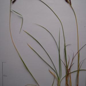 Photographie n°1278325 du taxon Carex flacca subsp. flacca