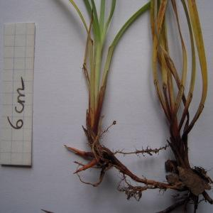 Photographie n°1278335 du taxon Carex flacca subsp. flacca