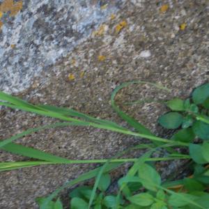 Photographie n°1280508 du taxon Hordeum murinum subsp. leporinum (Link) Arcang. [1882]