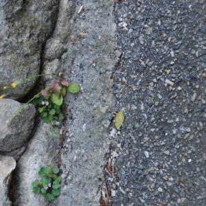 Photographie n°1280513 du taxon Crepis sancta subsp. nemausensis (Vill.) Babc. [1941]