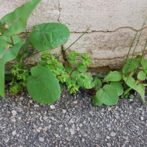 Photographie n°1280548 du taxon Euphorbia peplus L. [1753]
