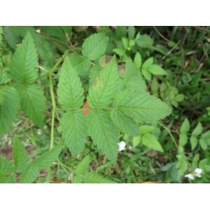 Rubus rosifolius Sm. (Framboise)