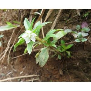 Pterolepis glomerata (Rottb.) Miq. (Zèb a mouch)
