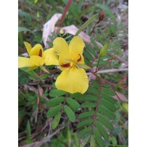 Fabaceae Lindl.