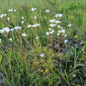 Photographie n°1283596 du taxon Saxifraga granulata L.