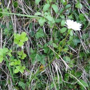 Photographie n°1284226 du taxon Leucanthemum vulgare Lam. [1779]
