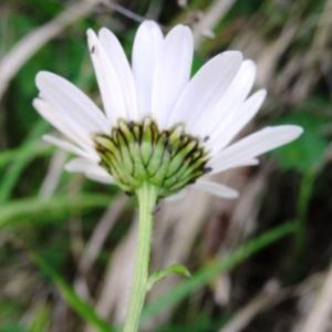 Photographie n°1284230 du taxon Leucanthemum vulgare Lam. [1779]