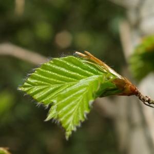 Photographie n°1285434 du taxon Fagus sylvatica L.
