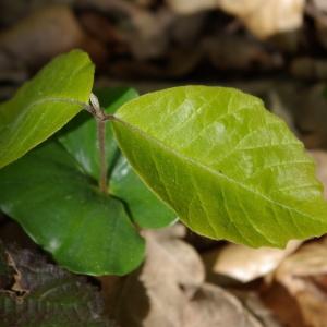 Photographie n°1285439 du taxon Fagus sylvatica L.