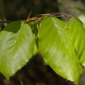 Photographie n°1285444 du taxon Fagus sylvatica L.