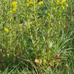 Photographie n°1292517 du taxon Barbarea vulgaris R.Br.