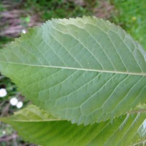 Photographie n°1295439 du taxon Prunus avium (L.) L. [1755]