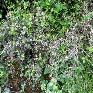 Photographie n°1295754 du taxon Rubia peregrina subsp. peregrina