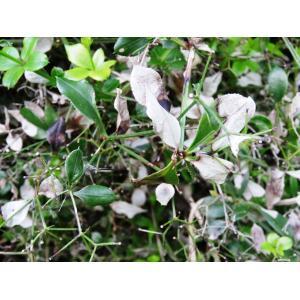 Rubia peregrina L. subsp. peregrina (Garance sauvage)