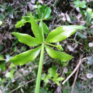 - Rubia peregrina subsp. peregrina