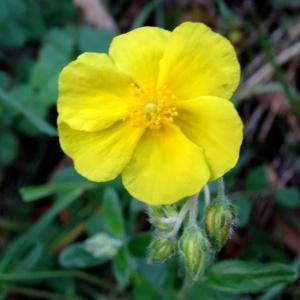 Photographie n°1295987 du taxon Helianthemum nummularium var. grandiflorum (Scop.) B.Bock