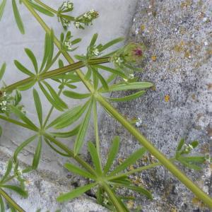 Photographie n°1297426 du taxon Galium aparine L.