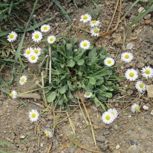Photographie n°1299537 du taxon Bellis perennis L.