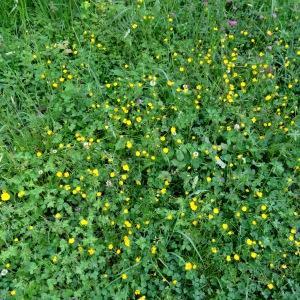 Photographie n°1303639 du taxon Ranunculus bulbosus L. [1753]