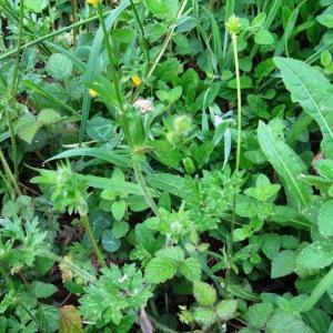 Photographie n°1303645 du taxon Ranunculus bulbosus L. [1753]