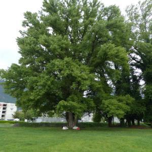 Photographie n°1306653 du taxon Populus nigra L.