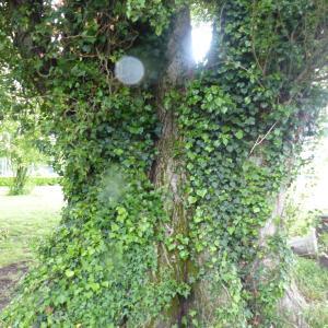 Photographie n°1306654 du taxon Populus nigra L.