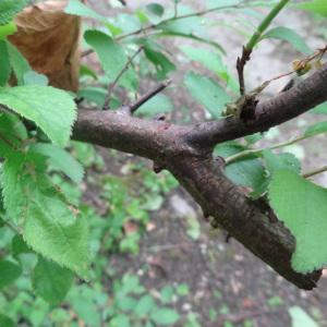 Photographie n°1307399 du taxon Prunus L.