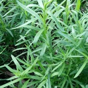 Photographie n°1312994 du taxon Artemisia dracunculus L. [1753]