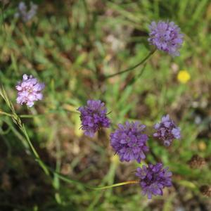 Photographie n°1314097 du taxon Armeria (DC.) Willd.