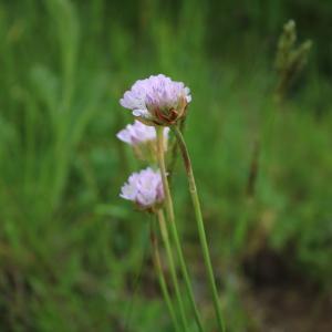 Photographie n°1314109 du taxon Armeria (DC.) Willd.
