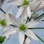 Marie-Claude Husken - Allium ursinum L. [1753]