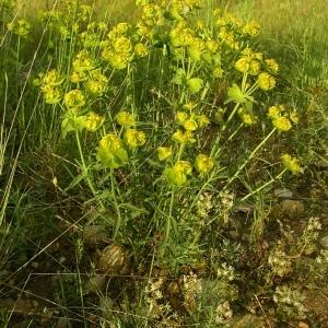 Photographie n°1327675 du taxon Euphorbia serrata L. [1753]