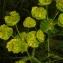 Sylvain Piry - Euphorbia serrata L. [1753]
