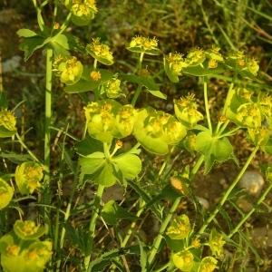 Photographie n°1327684 du taxon Euphorbia serrata L. [1753]