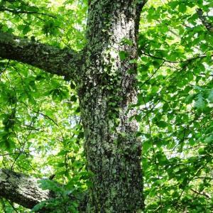 Photographie n°1329814 du taxon Quercus robur L. [1753]