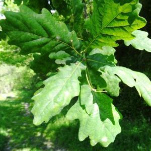 Photographie n°1329828 du taxon Quercus robur L. [1753]