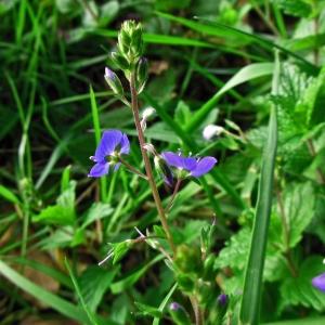 Photographie n°1332981 du taxon Veronica chamaedrys L. [1753]