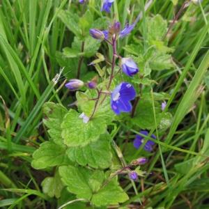 Photographie n°1332982 du taxon Veronica chamaedrys L. [1753]