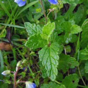Photographie n°1332983 du taxon Veronica chamaedrys L. [1753]